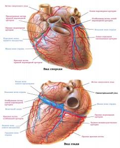Коронарные (венечные) артерии и вены